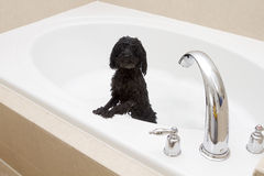 Little Poodle In Big Tub Royalty Free Stock Photography