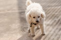 A little poodle dog Royalty Free Stock Photo