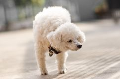 A little poodle dog Royalty Free Stock Image