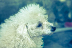 Little poodle dog Royalty Free Stock Photos