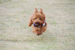 Little poodle dog running Royalty Free Stock Photo