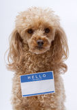 Little Poodle with Name Tag