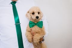 A little poodle puppy. Puppy Goldendudl at the hands of men royalty free stock images
