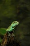 Little poser. A little lizard from Amsterdam artis Zoo Stock Photos