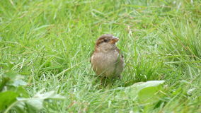 Little poser. Posing bird on the grass Stock Photography
