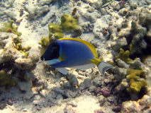 Little Powder Blue Tang. A little Powder Blue Tang swimming in the indian ocean, near the Fihalohi resort Stock Photos