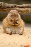 Little prairie dog eating carrot Royalty Free Stock Photo