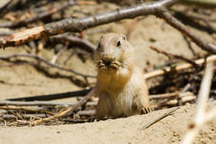 Little prairie dog eating. A young prairie dog eating Stock Photography