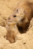 Little prairie dog looking out of its burrow Royalty Free Stock Photos