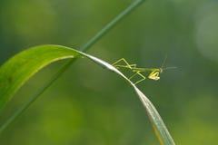 Little praying mantis Stock Photos