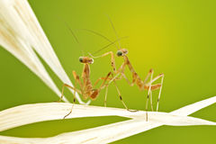 Little praying mantises. Close up Royalty Free Stock Image