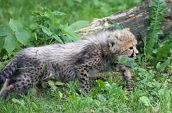 Little predator (Cheetah cub) Royalty Free Stock Photos