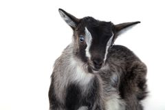 Little pretty goatling Royalty Free Stock Photo