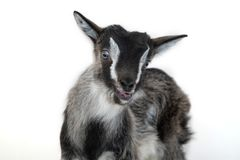 Little pretty goatling Royalty Free Stock Images
