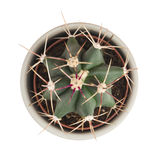 Little prickly cactus in a flower pot on a white background Royalty Free Stock Photos