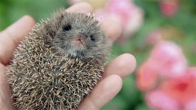 Little prickly hedgehog in his hand stock footage