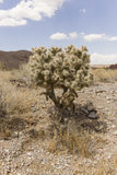 Little Prickly. A small prickly bush in the Nevada desert Royalty Free Stock Photos