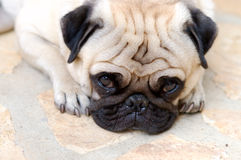 Little pug Stock Photography