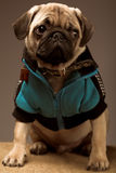 Little pug Royalty Free Stock Image