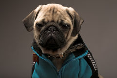 Little pug Stock Images