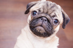 Little pug closeup Stock Photo