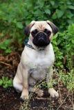 Little pug dog Royalty Free Stock Image