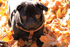 Little Pug. Just a walk in the autumn park, carelessness Royalty Free Stock Images