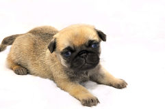 a little pug puppy isolated on grey Stock Photos