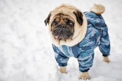 Little pug in winter Stock Photo
