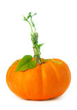 Little pumpkin with vines and leaves Royalty Free Stock Photos