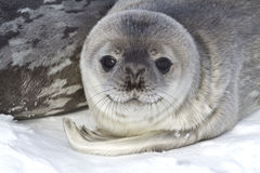 Little pup Weddell seals which lies. Near the female Stock Image