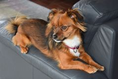 Little dog sits on his favourite place , the armchair backrest. Small mixed puppy dog sits on his favourite place and looks attentively at something in his royalty free stock images