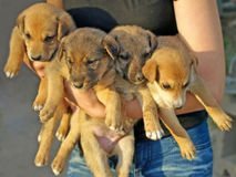 Little puppies. Royalty Free Stock Photos