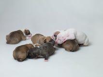 Little puppies Stock Photos