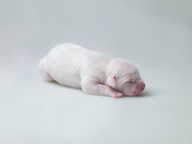 Little puppies Royalty Free Stock Photo