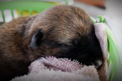 Little puppies Cute is sleeping. royalty free stock image