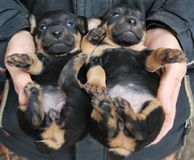 Little puppies of the dog breed German hunting terrier Stock Photos