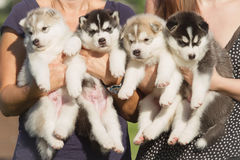 Little puppies. Stock Image