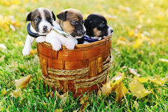 Little puppies of a jack russell on green grass Royalty Free Stock Image