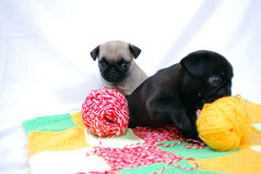 Little puppies Mopsa play with balls of woolen threads Royalty Free Stock Images