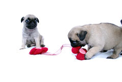 Little puppies Mopsa play with a knitted red flower. On a white background Stock Image