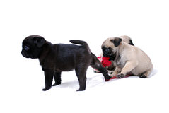 Little puppies Mopsa play with a knitted red flower. On a white background Royalty Free Stock Images