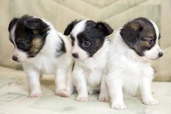Little Puppies Papillon Royalty Free Stock Photo