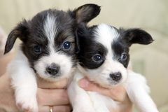 Little Puppies Papillon Royalty Free Stock Image