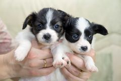 Little Puppies Papillon Stock Photos