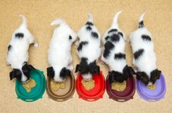 Little Puppies Papillon eat Royalty Free Stock Photos