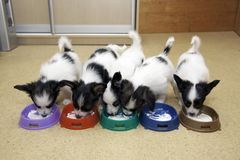 Little Puppies Papillon eating curd Royalty Free Stock Image