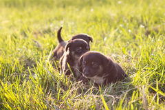 Little puppies running on grass, soft light Stock Images