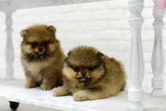 Little puppies Spitz playing in Studio on white background Royalty Free Stock Image
