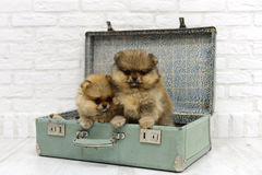Little puppies Spitz sit and play in a suitcase on a white background in Studio. Beautiful little puppies Spitz sit and play in a suitcase on a white background Stock Photos
